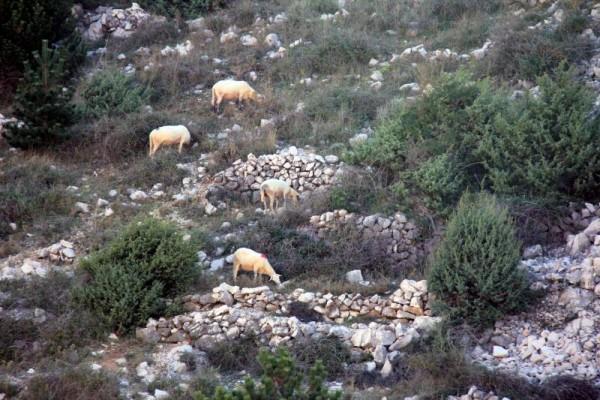 ovce - Uvala Vela Luka