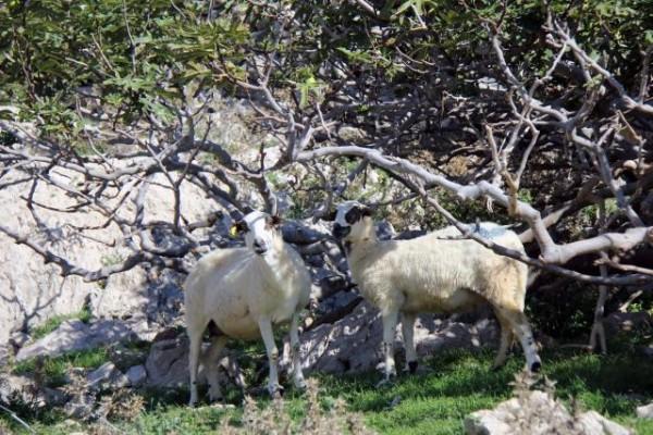 Uvala Vela Luka - ovce pod figovimi drevesi